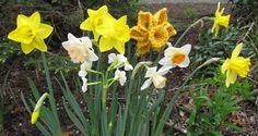 One piece daffodil,pattern-free