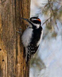 ✔ Hairy Woodpecker