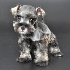 Community Post: These Mini Schnauzers Will Solve All Of Your Problems