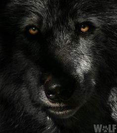 Real beauty is so deep you have to move into darkness to understand it. ~Barry López #standforwolvespic.twitter.com/1pQGvxRzGt