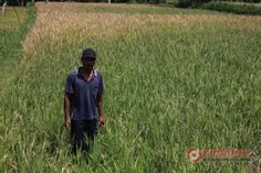 Belasan Hektar Sawah Subak Karang Dalem Diserang Hama Tikus - http://denpost.imediamu.com/2015/03/26/belasan-hektar-sawah-subak-karang-dalem-diserang-hama-tikus/