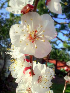 Blossoms on my apricot tree