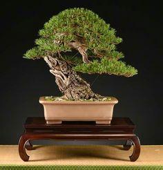 Pinus Halepensis - provenienza Gargano - Autore e proprietario: Zino Rongo