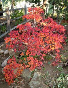 smoke bush in autumn http://terrevertelandscape.com/wp-content/uploads/2012/02/Smoke-Bush-1.jpg