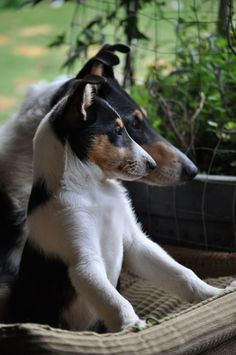 SMOOTH COLLIE, love collies, smart, loyal, protective, friendly, social, and above all, loving. I was blessed to have my Liz Taylor, my sable and white female collie for 2 weeks shy of 10 years. What a wonderful dog my Lizzie was!
