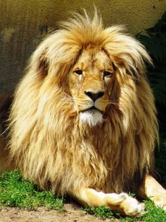 WOW! This is a Katanga (aka Southwest African) Lion, but I think he is in a European zoo.