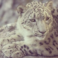 A #snowleopard at the #Cincinnati #Zoo
