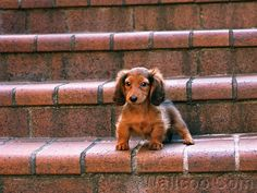 miniature sausage dog...