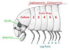 Image result for shongololo millipede