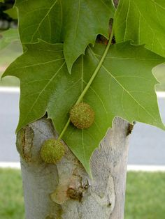 Platanus occidentalis (Sycamore Tree), pollen source for bees. Hardiness Zones: 4-8.