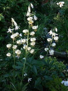 Krollilja, vit, Lilium Martagon var albiflorum