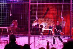 Big cats look set to return to English circus « Captive Animals Protection Society