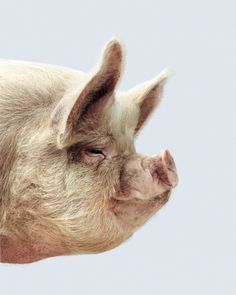 Pig photographed by Chris Frazier Smith