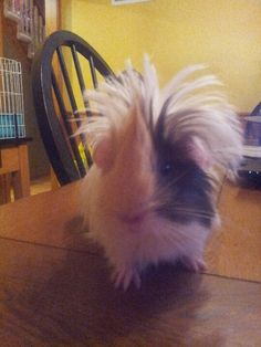 My fluffy haired baby guinea pig.