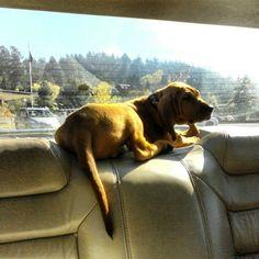 Redbone Coonhound Redbone Coonhound, Annie, Cute Pictures, Labrador Retriever, Hunting, Puppies, Babies, Dogs, Girls
