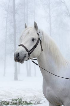 Connemara Stallion