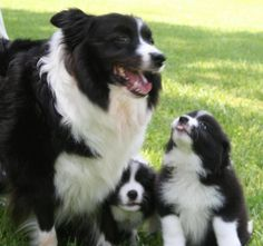Border Collies I love collies!