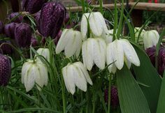 "Photo ""Fritillaria meleagris 'Alba'"" (avril)"