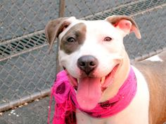 SAFE 5-9-2015 --- Manhattan Center LUNA – A1034983 SPAYED FEMALE, WHITE / BLUE, AM PIT BULL TER MIX, 9 mos OWNER SUR – ONHOLDHERE, HOLD FOR ID Reason PETS CONFL Intake condition UNSPECIFIE Intake Date 05/01/2015
