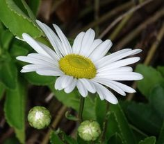 Top 5 plants for low maintenance gardens. Montauk Daisies- Just when most of the flowering plants in the garden are finishing their show, Montauk Daisies are coming into bloom. Throughout the summer these little bushes add greenery and texture, and then in September they are full of charming white flowers.