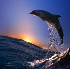 Dolphin jumping out of the sea in the sunset