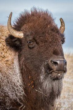 Buffalo- photo by Eden Bhatta