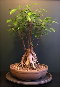 Ficus ginseng is a superb bonsai ficus tree with an appealing bulgy root trunk and inch-size deep green leaves. Repotting every few years & pruning are key! Ficus Ginseng Bonsai, Ginseng Plant, Bonsai Plants, Bonsai Pruning, Indoor Plants India, Indoor Plants Clean Air, Ficus Microcarpa, Bonsai Tree Care, Ficus Tree