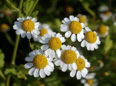 """MANZANILLA, ¿PARA QUÉ SIRVE? La #Manzanilla también conocida como """"Matricaria camomilla"""", es un hierba aromática anual de origen europeo. Pertenece a la familia Compostae al igual que las margaritas; es de tallos erectos con pequeñas flores blancas y una altura no mayor a los 60 centímetros... Lee más dando click en la imagen."""