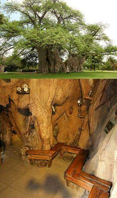 This bar in the trunk of a Baobab has people travelling from miles around for a brew. It has been created in a huge 72ft high tree in this garden in Limpopo, South Africa, to keep thirsty locals happy. But tourists flock to see the amazing bar inside the hollow 155ft circumference of the trunk. The tree even has its own cellar, with natural ventilation to keep the beer cool. The huge tree, in the grounds of Sunland Farm, is so wide it takes 40 adults outstretched!