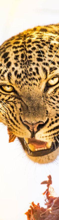 Wild Leopard I saw in Botswana - photo from #treyratcliff Trey Ratcliff at http://www.StuckInCustoms.com