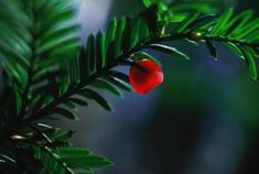 Female Japanese yews produce poisonous berries and seeds.