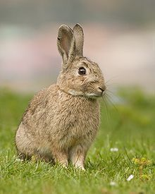 European Rabbit - photo by JJ Harrison, via Wikipedia;  The Leporidae (hares and rabbits) family includes twenty-eight species of rabbit and cottontail, and thirty species of hare. Leporidae are members of the taxonomic order Lagomorph, along with the pika.