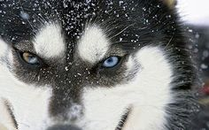 Frozen Planet: pictures from Sir David Attenborough's latest polar TV series Husky Eyes, A Husky, David Attenborough Documentaries, Malamute Husky, Alaskan Malamute, Planet Pictures, Anatole France, Most Beautiful Animals, Animals Of The World