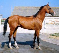 Akhal-Teke stallion 1069 Kortik
