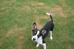 Claire is an adoptable Terrier Dog in Calhoun, GA. Claire is a tri-colored terrier mix female. Claire was brought to us in July 2012. She is such a spunky little girl and has lots of energy and love t...