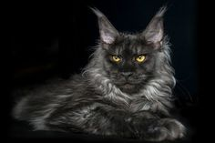 Black Smoke Maine Coon Photo by Robert Sijka -- National Geographic Your Shot