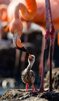 Mother and baby Flamingo