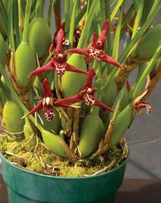 Coconut Orchid (Maxillaria tenuifolia)