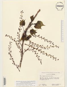 Populus_deltoides_var_del,Resources for Botanical Sketchbooks, , Resources for Art Students at CAPI::: Create Art Portfolio Ideas milliande.com, Art School Portfolio Work, , Botanical, Flowers, Plants, Leaves,Stem Seed, Sketching, Herbarium