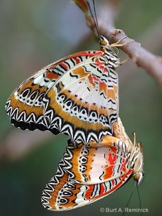 Butterflies at Play.  or are they making more butterflies!