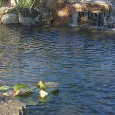 First flower in the new #pond  Neptune's Water Gardens is the premier water feature design and installation company in the #Omaha Metro area. Our naturally balanced low-maintenance ecosystem ponds work with Mother Nature not against her. We pride ourselves in creating water features that appear to have always existed in their surrounding landscape. Whether you choose an ecosystem #pond decorative #fountainscape #Pondless #Waterfall or the new #RainXchange System that pairs a rainwater…