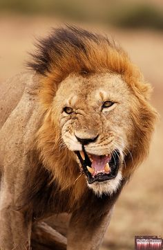 male lions face roaring - Google Search