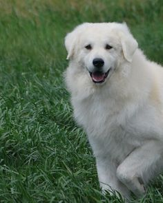 This is a dog I have not owned, but wanted to... the Kuvasz. Beautiful