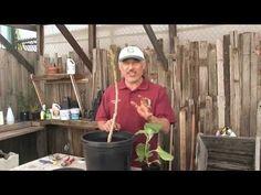 How to graft an eggplant with Vasili - YouTube Eggplant, Gardening, Youtube, Plants, Lawn And Garden, Eggplants, Plant, Youtubers, Youtube Movies