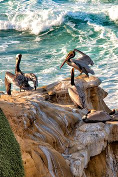 Sunbathing in La Jolla, California Sea Birds, Wild Birds, Eagles, La Jolla, Sea Creatures, Under The Sea, Beautiful Birds, Sea Shells, Cool Photos