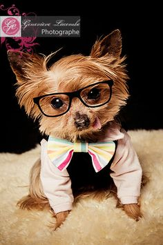 Little Yorkie with a geek look!