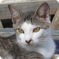 Gonzales, TX - Domestic Shorthair. Meet Darragh a Cat for Adoption.
