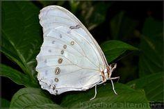 Las mariposas que revolotean dentro de las casas dicen en mi tierra que siempre son mensajes de noticias. Las mariposas son de las creaciones más asombrosas de la naturaleza, por lo que más allá de ser admiradas por su belleza y poder de transformación, también son consideradas como un símbolo espiritual, al cual se asocian …