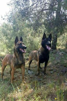 Berger Malinois, Belgian Malinois Dog, Belgian Shepherd, German Shepherd Dogs, Malinois Shepherd, Pastor Belga Malinois, Military Working Dogs, Most Beautiful Dogs, Schaefer