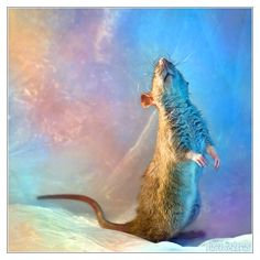 Fenrir 6 - Fancy rat by Diane Özdamar. Love the vibrant colors you see in her photography (she's a great artist, too!)